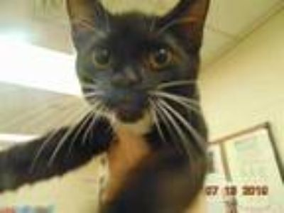 Adopt CARLOS a Black (Mostly) Domestic Shorthair / Mixed (short coat) cat in