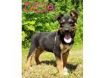 Adopt Rottweiler/Shepherd mix female pups - courtesy posting a Rottweiler