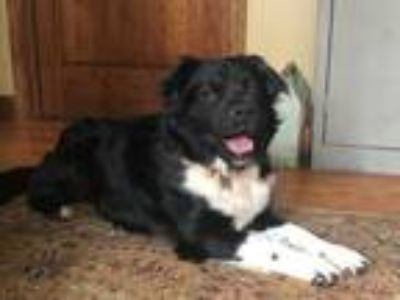 Adopt Osker a Black - with White Border Collie / Mixed dog in Alpharetta
