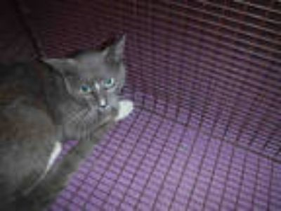 Adopt *PIP a Gray or Blue (Mostly) Domestic Shorthair / Mixed (short coat) cat