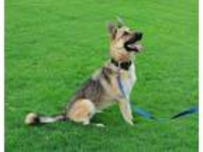 Adopt Tilla a German Shepherd Dog