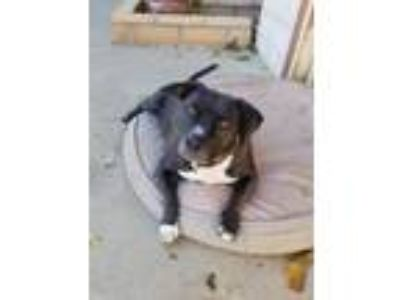 Adopt Gweedo a American Staffordshire Terrier, Pit Bull Terrier