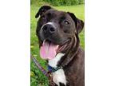 Adopt Bonnie Bella a Black American Pit Bull Terrier / Cane Corso / Mixed dog in