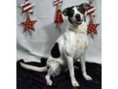 Adopt Penny a Terrier, Pointer