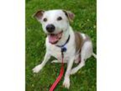 Adopt Brisket a Tan/Yellow/Fawn Labrador Retriever / Shepherd (Unknown Type) /