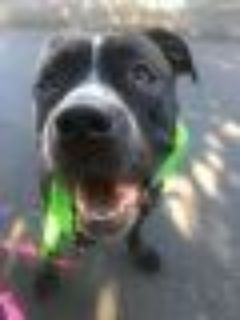 Rosie American Bulldog - Mixed Breed Dog