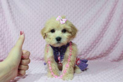 Special Malshi (Maltese&ShihTzu mix) puppies available now in Utah/Arizona/Henderson !