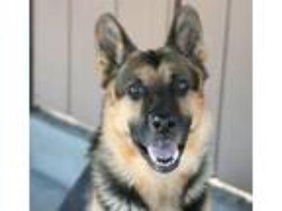 Adopt Kipper a German Shepherd Dog