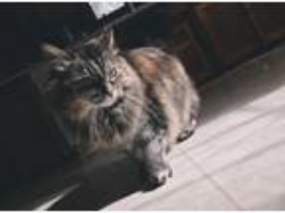 Adopt Lily a Black (Mostly) Domestic Longhair cat in Saint Paul, MN (25596073)