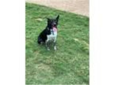 Adopt Tori a Black - with White Border Collie / Blue Heeler / Mixed dog in West