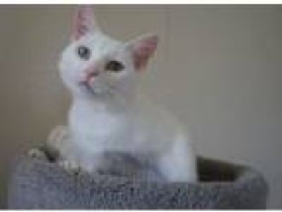 Adopt Cavalia a Domestic Short Hair