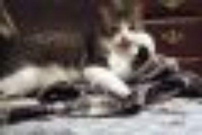 Coco Domestic Short Hair Cat
