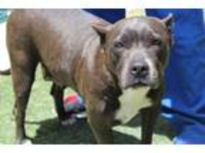 Adopt Marina a Gray/Silver/Salt & Pepper - with White American Pit Bull Terrier