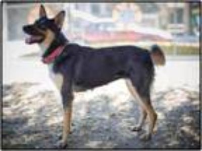 Adopt BOBA a German Shepherd Dog, Mixed Breed