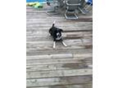Adopt Opie a Black - with White Hound (Unknown Type) dog in Port Jefferson