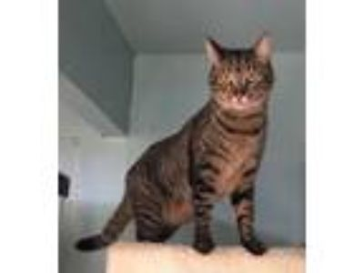 Adopt Leo (adopt with Nellie) a Tabby