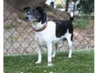 Adopt PERRY a Rat Terrier