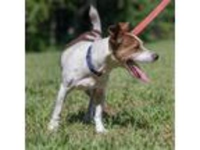 Adopt Champ Champ a White - with Tan, Yellow or Fawn Terrier (Unknown Type