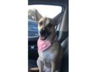 Adopt Luna a Tan/Yellow/Fawn - with White Shepherd (Unknown Type) dog in