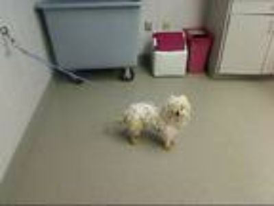 Adopt COCONUT a Poodle, Mixed Breed