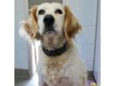Adopt Misty a White - with Tan, Yellow or Fawn English Setter dog in Appomattox