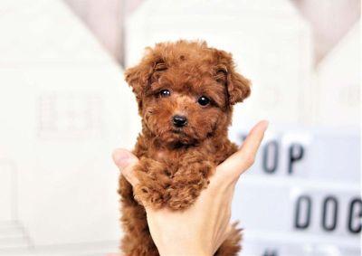 Twinkle the Teacup Poodle ($3,300)