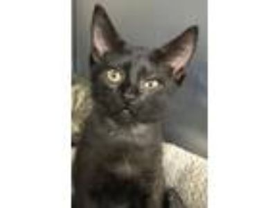 Adopt Gilly a Domestic Short Hair