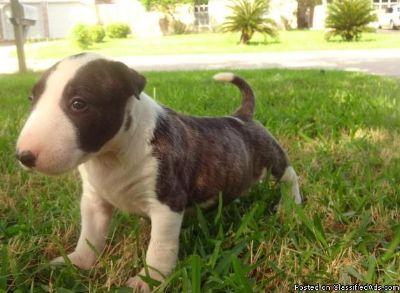 Cao De Castro Laboreiro Puppies for Sale