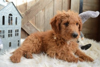 Goldendoodle PUPPY FOR SALE ADN-105189 - JUSTIN