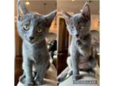 Adopt Willow a Gray or Blue Domestic Shorthair (short coat) cat in Bentonville