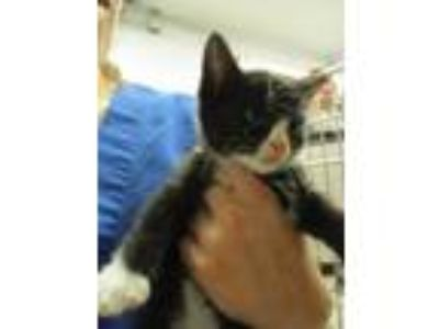 Adopt Cat Sajak a All Black Domestic Shorthair / Domestic Shorthair / Mixed cat