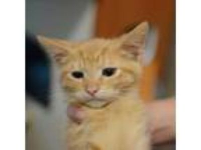 Adopt Figgy a Orange or Red Domestic Shorthair / Domestic Shorthair / Mixed cat