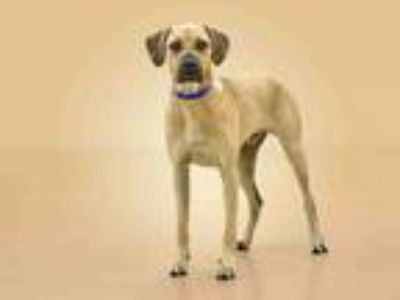 Adopt CHICO a Black and Tan Coonhound
