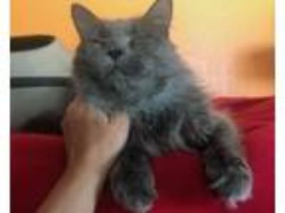Adopt Shore a Gray or Blue Maine Coon / Mixed (long coat) cat in Devon