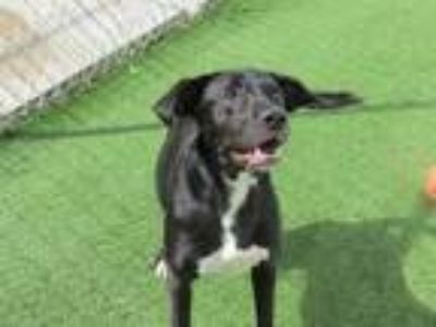 Adopt April (Cocoa Adoption Center) a Black Labrador Retriever / Mixed dog in