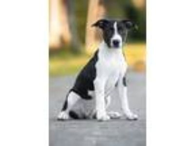 Adopt Lexi a Black - with White American Pit Bull Terrier / Mixed dog in