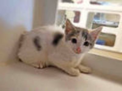 Adopt QUENBY a White (Mostly) Domestic Shorthair / Mixed (short coat) cat in