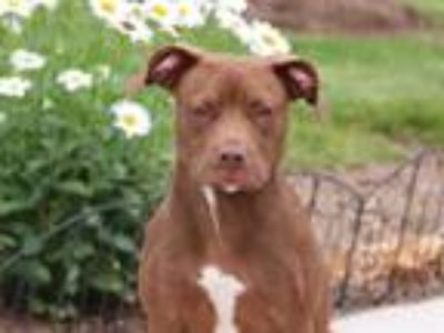 Adopt GODIVA a Brown/Chocolate - with White Labrador Retriever / Mixed dog in