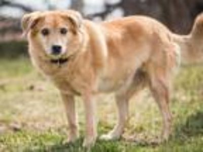Adopt Mia a Golden Retriever