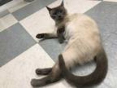 Adopt VAL a Cream or Ivory Domestic Shorthair / Domestic Shorthair / Mixed cat