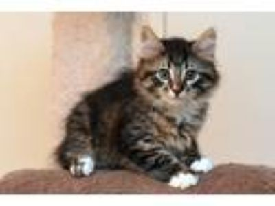 Adopt Elvis a Brown Tabby Domestic Shorthair / Mixed cat in Palatine