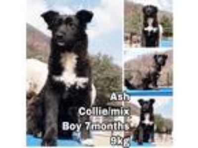 Adopt Ash a Black - with White Border Collie / Mixed dog in Encino