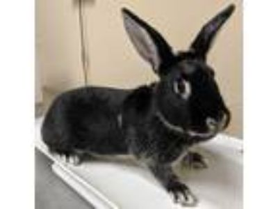Adopt 'Oakley' a Black American / American / Mixed rabbit in Racine