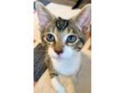 Adopt Howard a Domestic Short Hair