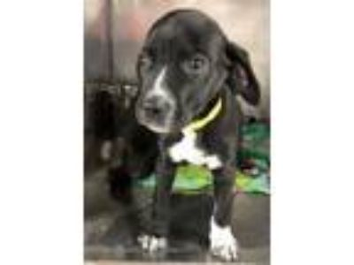 Adopt Slater a Pointer, Labrador Retriever