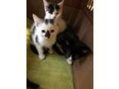 Adopt Four kittens 2019-09 a Domestic Shorthair / Mixed (short coat) cat in