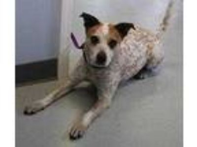 Adopt Bree a White Australian Cattle Dog / Mixed dog in Columbia, SC (25592218)