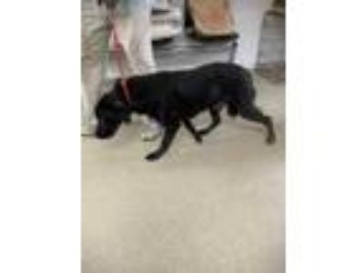 Adopt Blacky Blacky a Black Golden Retriever / Mixed dog in Fort Worth