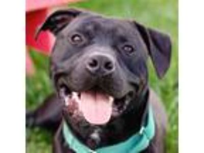 Adopt Benny a American Pit Bull Terrier / Mixed dog in Des Moines, IA (25343731)
