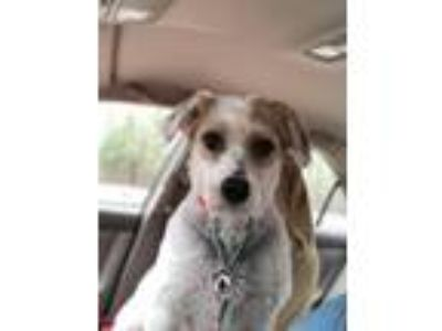Adopt Chipotle a White - with Tan, Yellow or Fawn Labradoodle / Mixed dog in